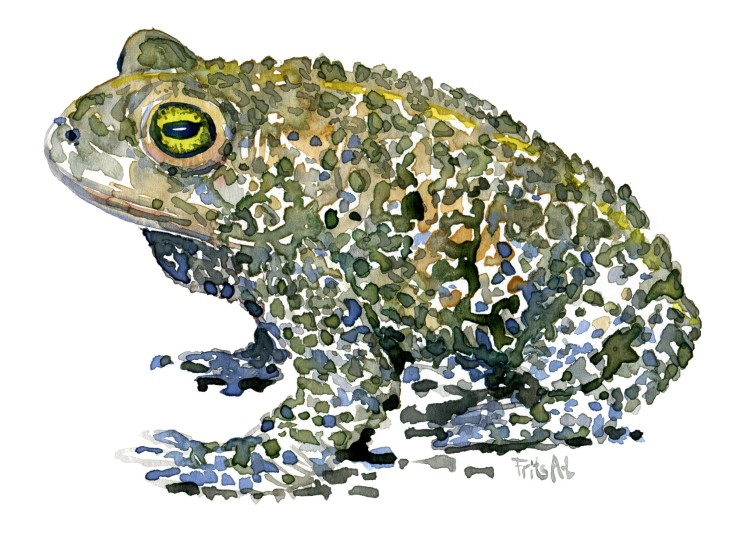 ToadFrog watercolour by Frits Ahlefeldt