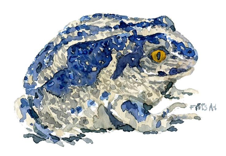 spade foot toad Watercolour by Frits Ahlefeldt