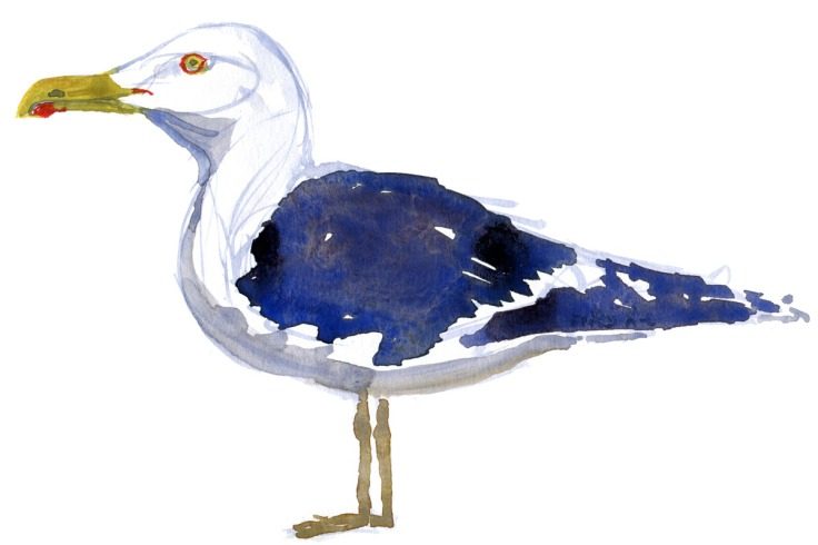 Seagull standing, watercolor by Frits Ahlefeldt