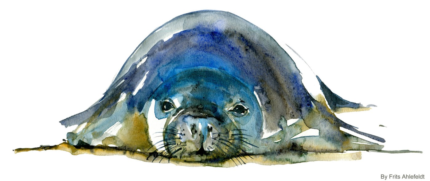 monk seal front Watercolour by Frits Ahlefeldt