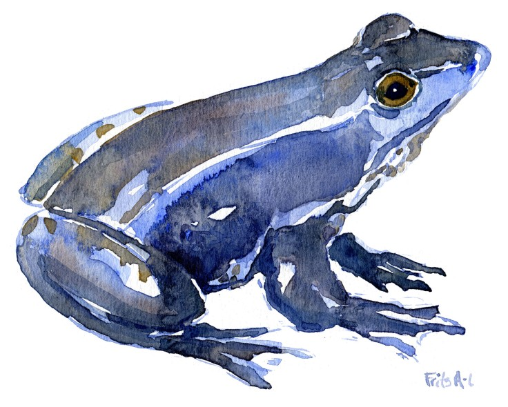 moor frog Watercolour by Frits Ahlefeldt