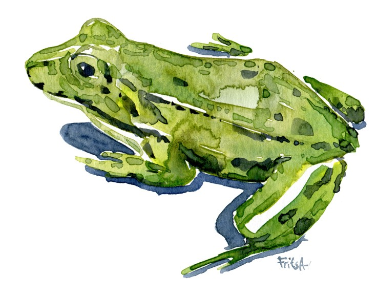 Edible frog Watercolour by Frits Ahlefeldt
