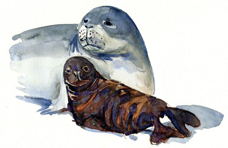 monk seal with baby seal Watercolour by Frits Ahlefeldt