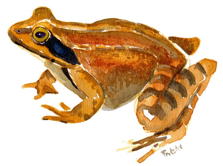 agile frog Watercolour by Frits Ahlefeldt