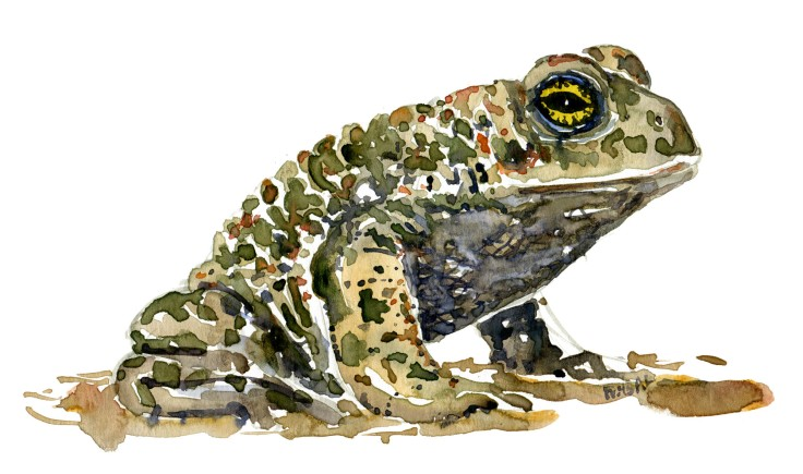 Natterjack watercolour by Frits Ahlefeldt
