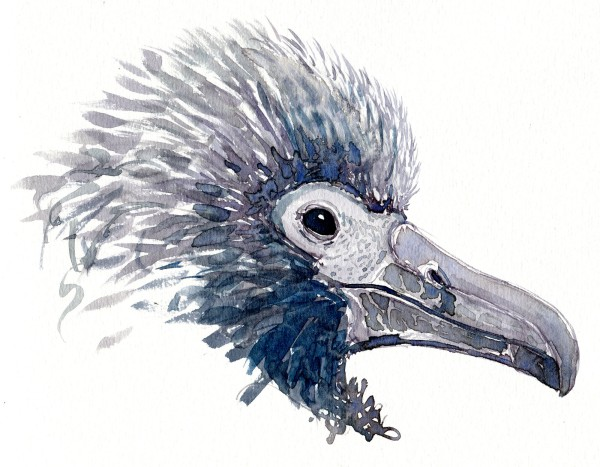 Albatross chick Watercolour by Frits Ahlefeldt