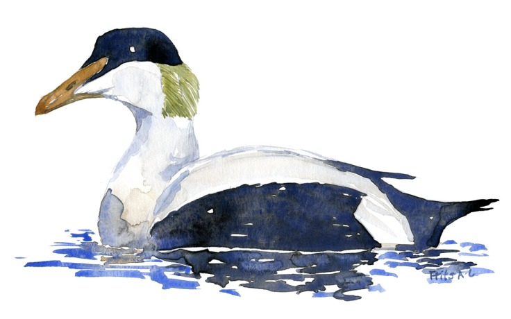 Common Eider duck watercolor by Frits Ahlefeldt