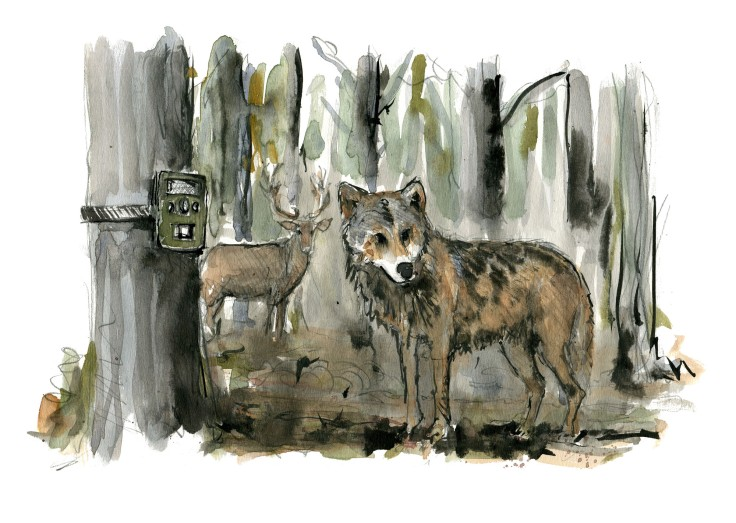 wolf and wildlife cam Watercolour by Frits Ahlefeldt