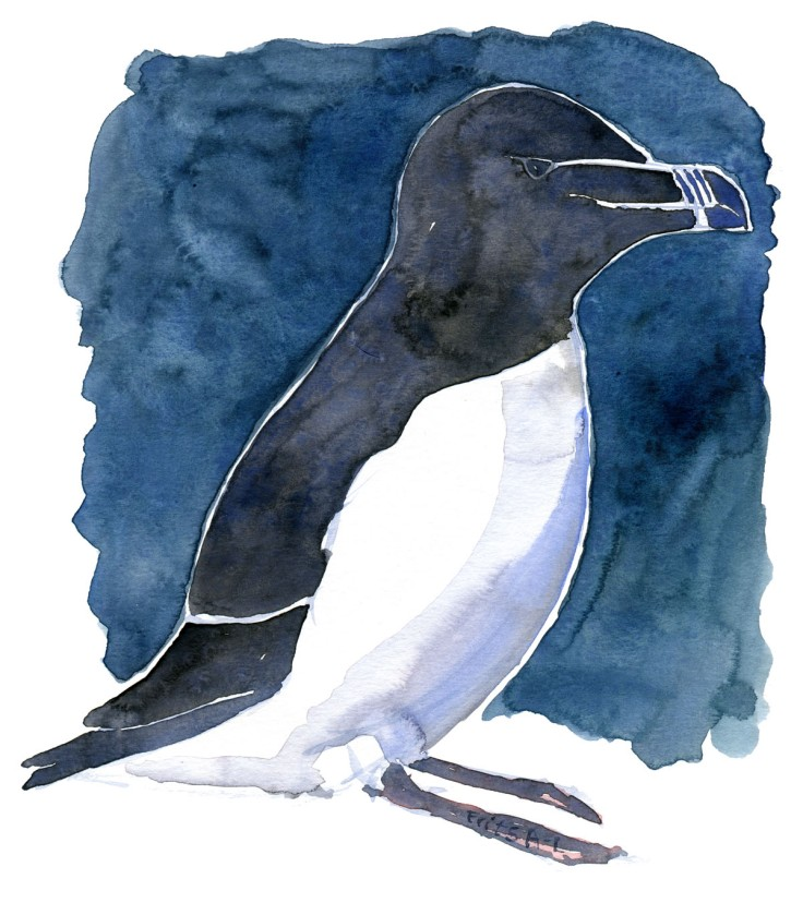 Razorbill watercolor by Frits Ahlefeldt
