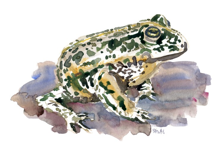 Frog Watercolour by Frits Ahlefeldt