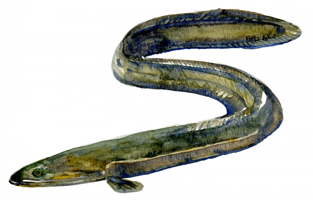 Eel fish watercolor painting by FritsAhlefeldt