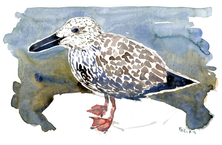 Seagull chick standing watercolor by Frits Ahlefeldt