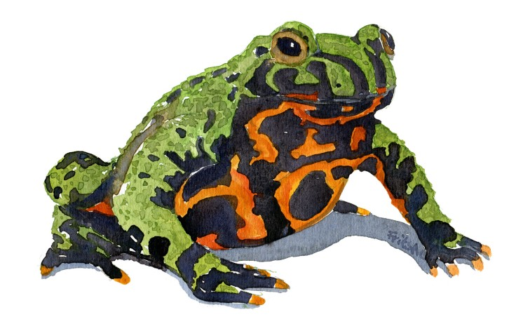 fire bellied toad sitting Watercolour by Frits Ahlefeldt