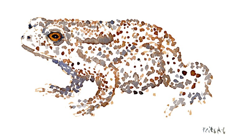 common toad Watercolour by Frits Ahlefeldt