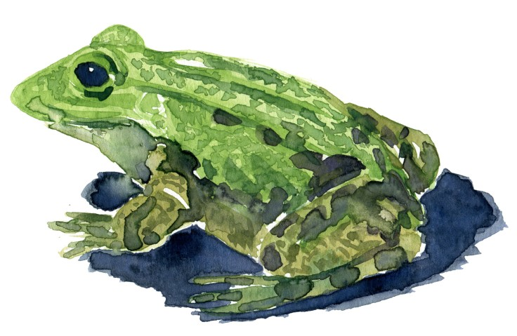 marsh frog Watercolour by Frits Ahlefeldt