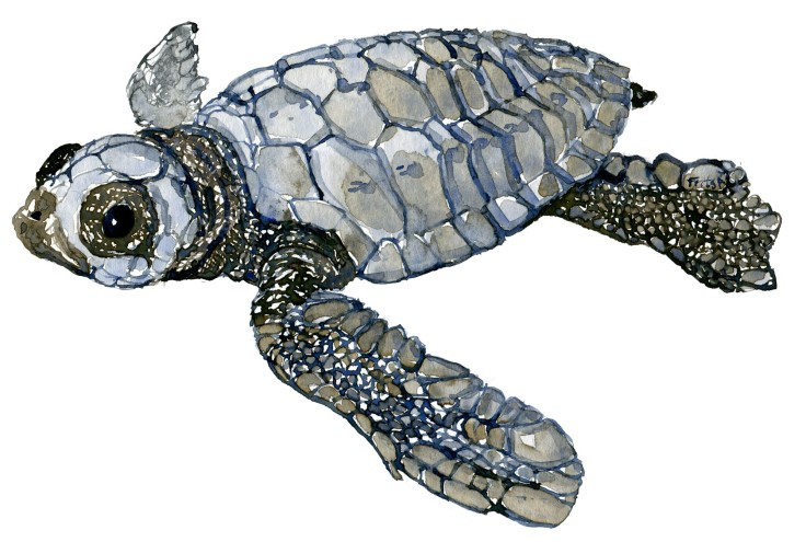 Leatherback baby sea turtle watercolor