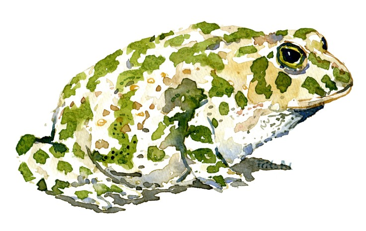 green toad Watercolour by Frits Ahlefeldt