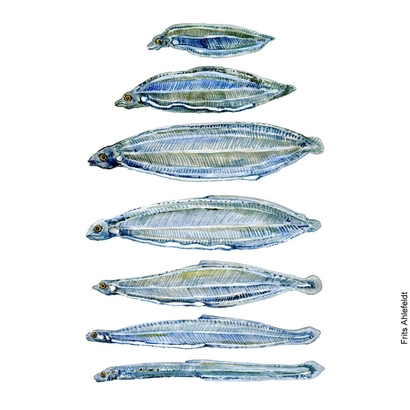 Watercolor painting of different stages of the eel larvae. Fish Illustration by Frits Ahlefeldt