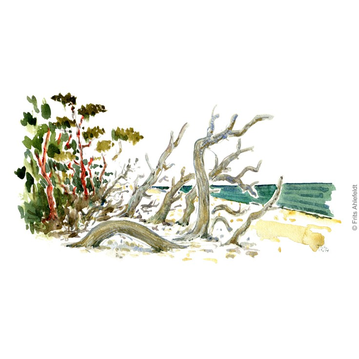 Trees fallen towards the Baltic Sea. Bornholm coast trail hiking watercolor painting by Frits Ahlefeldt