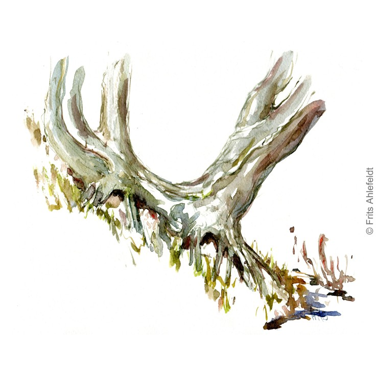 Old tree root. Bornholm coast trail hiking watercolor painting by Frits Ahlefeldt