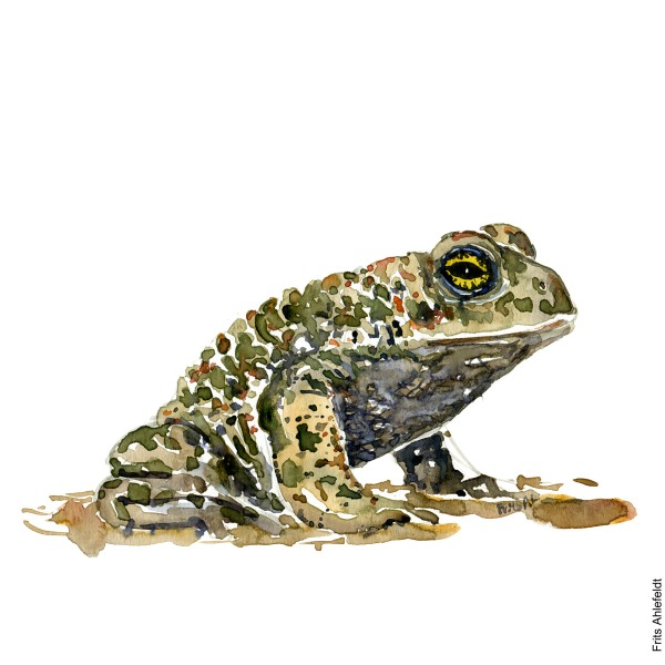 Illustration of natterjack toad sitting. Watercolor artwork handmade by Frits Ahlefeldt