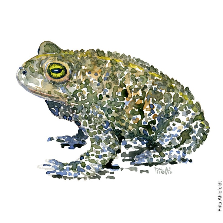 Watercolour illustration of natterjack toad looking left. Frog watercolor drawing handmade by Frits Ahlefeldt
