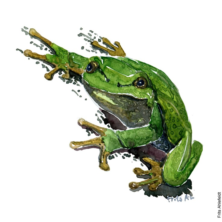 Illustration of European tree frog watercolor drawing handmade by Frits Ahlefeldt