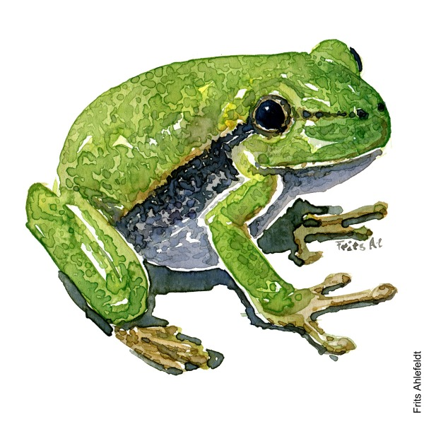 Drawing of European Tree frog. watercolor illustration handmade by Frits Ahlefeldt