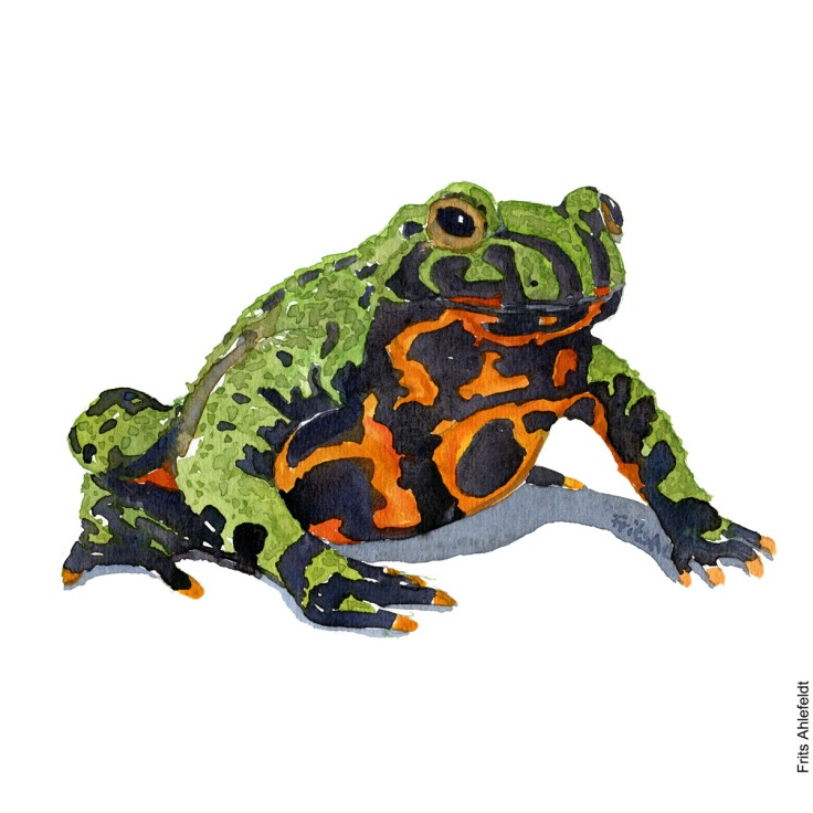 Fire bellied toad. Front watercolor illustration handmade by Frits Ahlefeldt