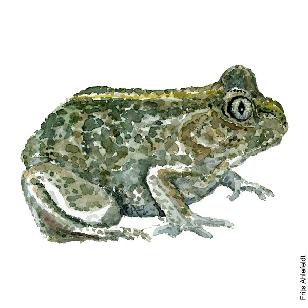 Green Common spade-foot toad. watercolor illustration handmade by Frits Ahlefeldt