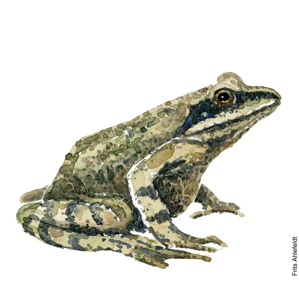 Moorfrog - Spidssnuet frø. watercolor illustration handmade by Frits Ahlefeldt