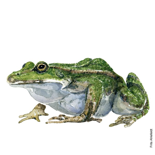 Edible frog. watercolor illustration handmade by Frits Ahlefeldt