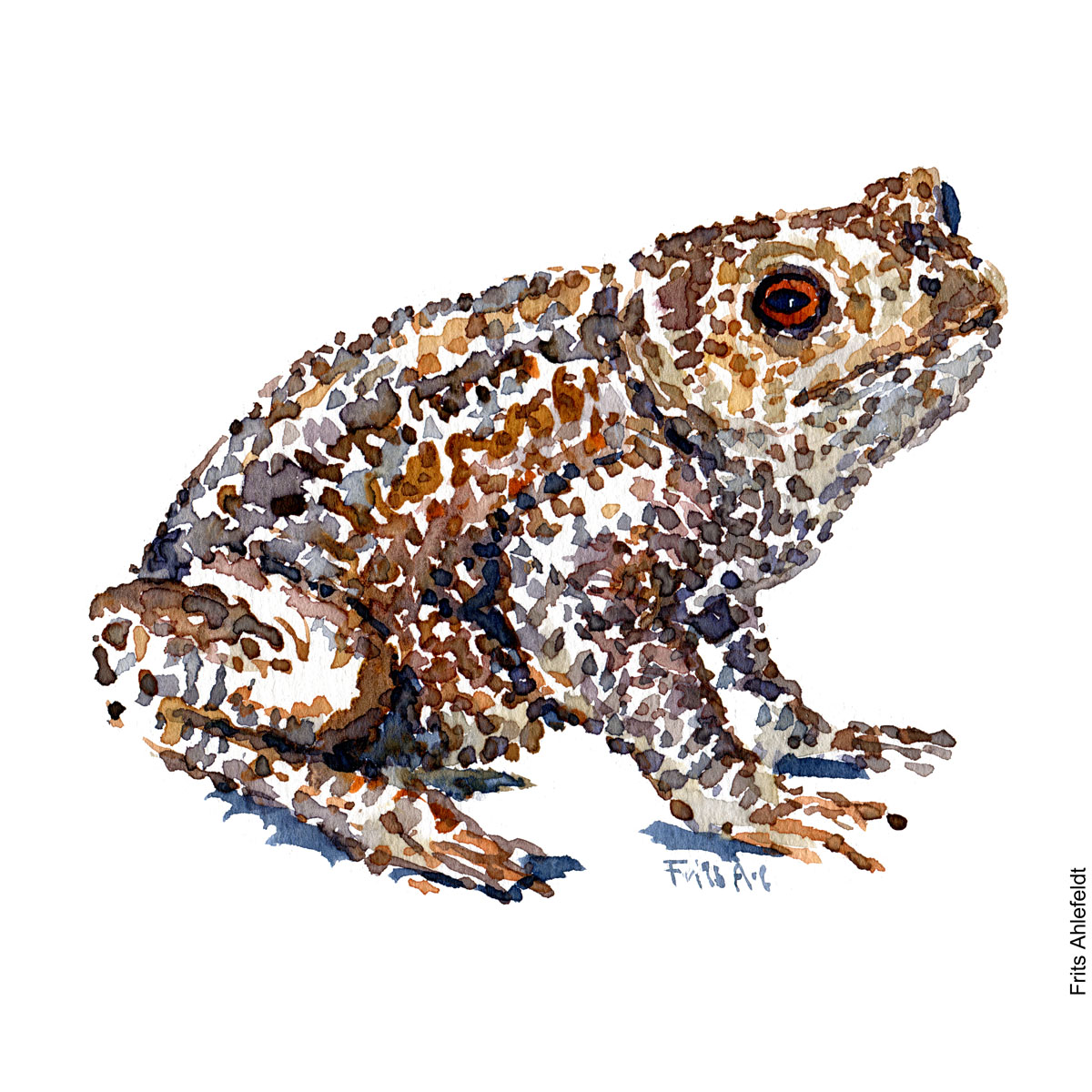 Common toad. watercolor illustration handmade by Frits Ahlefeldt