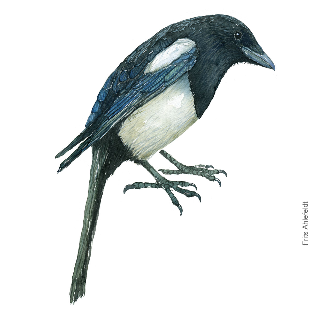 European magpie - Pica pica. Watercolor illustration by Frits Ahlefeldt